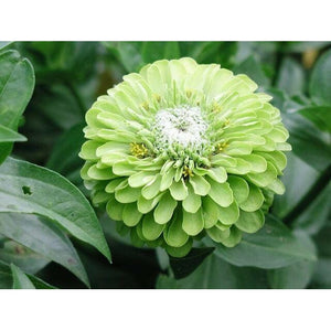 ZINNIA 'Lime Green Envy' - Boondie Seeds