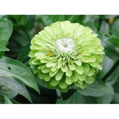 ZINNIA 'Lime Green Envy' seeds