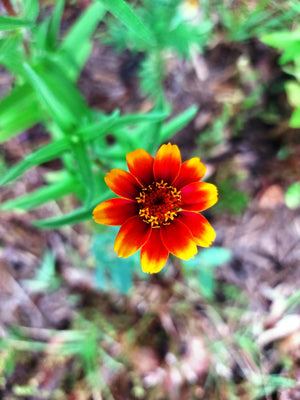 ZINNIA 'Persian Carpet Mix' seeds