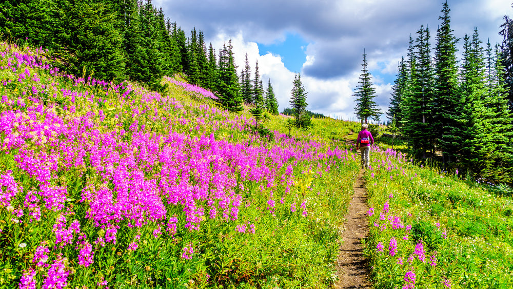 Fireweed - the super herb and it's benefits you really need to discover