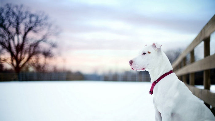 Caring for Bully Breed Dogs during the winter season!