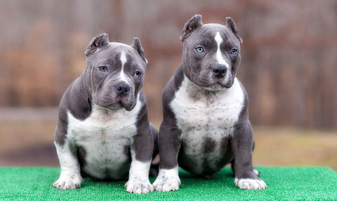 pit bull and bully breed discrimination