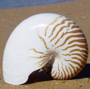 Giant Tiger Nautilus Shell - Nautical Luxuries