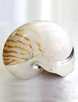 Giant Tiger Nautilus Silver-Dipped Shell