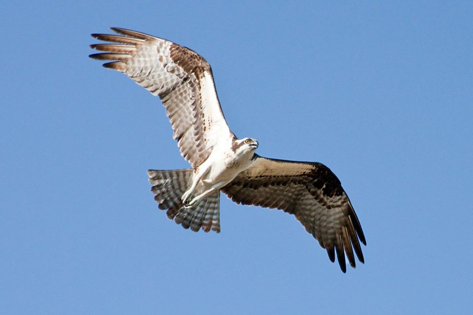 The Osprey is back!