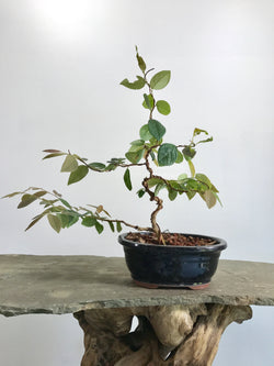 Chinese Fringe Tree (Loropetalum chinensis)