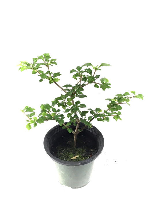 Japanese Neem Tree (Musk Maple)