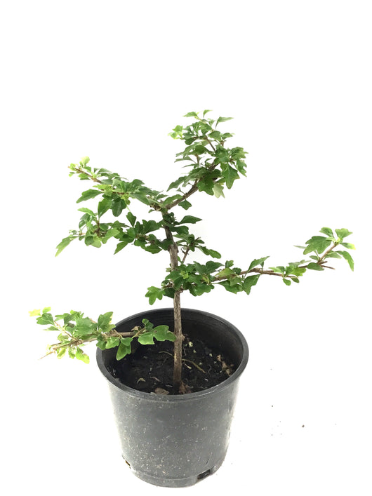 Japanese Neem Tree / Musk Maple (Premna microphylla)
