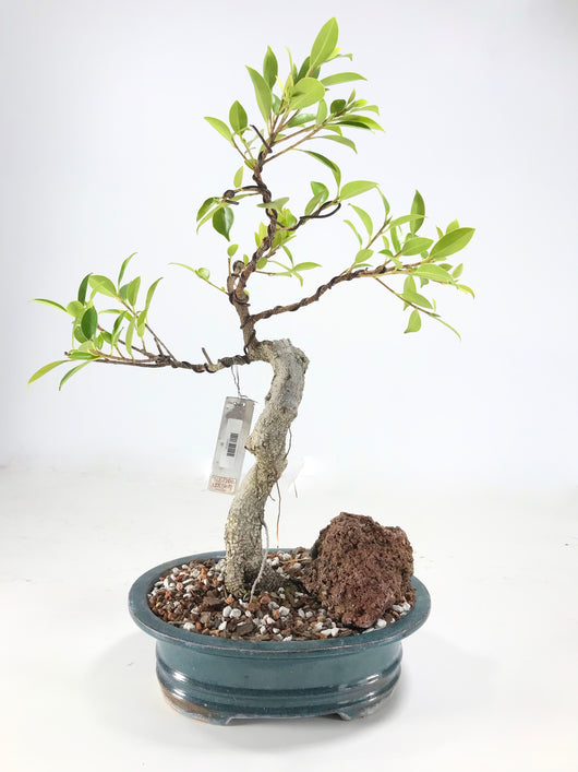 Tiger Bark Ficus (Ficus retusa)