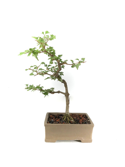 Japanese Neem Tree Bonsai