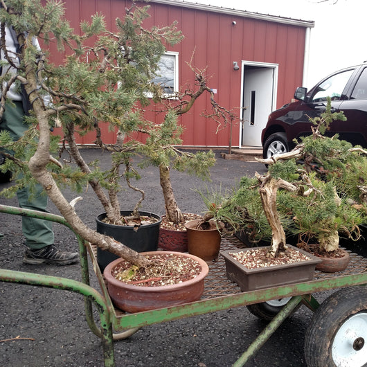 March 6, 2021 9:30am - 3:00pm Bring Your Own Bonsai Workshop