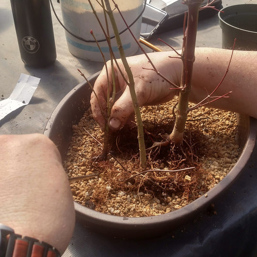 March 13, 2021 - 9:30am - 3:00pm - Japanese Maple Workshop