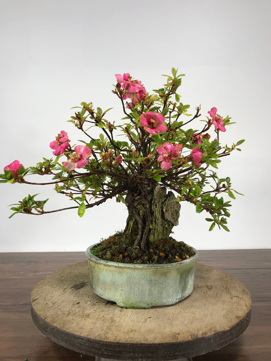 Azalea Root Over Rock Bonsai
