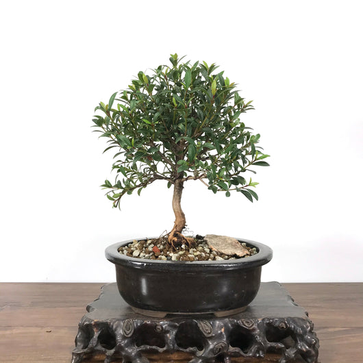 Australian Brush Cherry (Eugenia myrtifolia) Bonsai