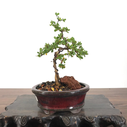Black Olive (Bucida spinosa) Bonsai
