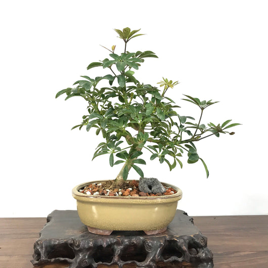 Umbrella Tree (Schefflera arboricola) Bonsai
