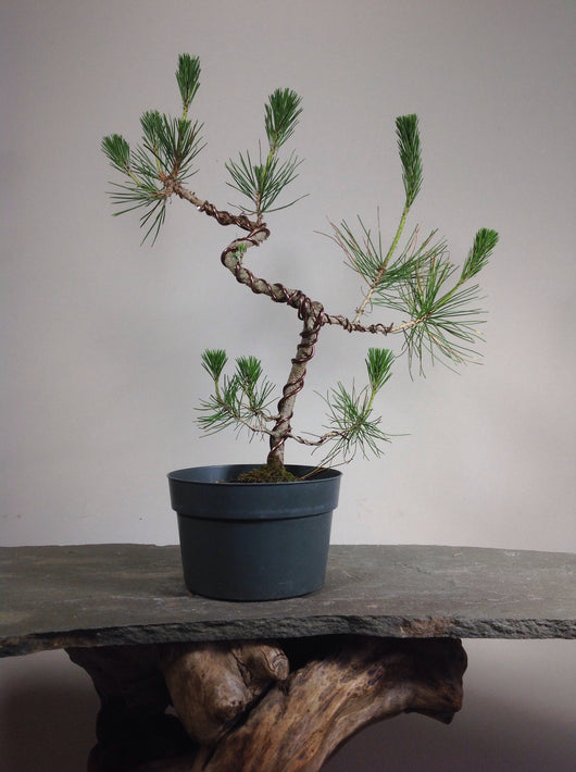 Japanese Black Pine (Pinus thunbergii) Pre-Bonsai