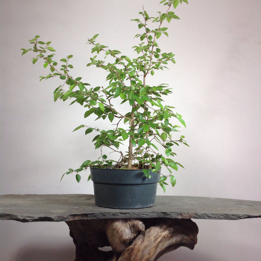 Korean Hornbeam (Carpinus coreana) Pre-Bonsai