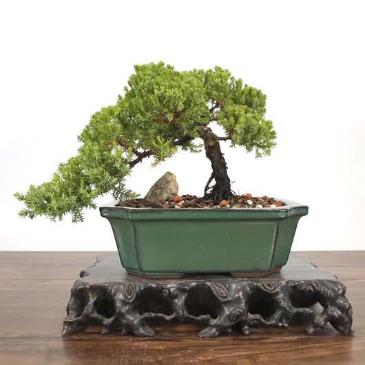 Japanese Juniper (j. Procumbens) Bonsai
