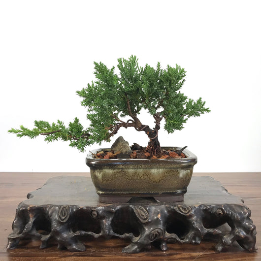 Japanese Juniper (Juniperus procumbens) Bonsai
