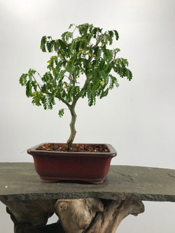 Brazilian Rain Tree (Chloroleucon tortum)