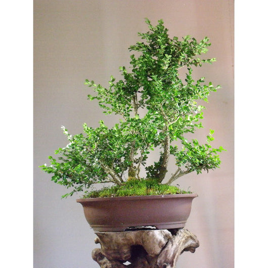 Boxwood (Buxus sp.)