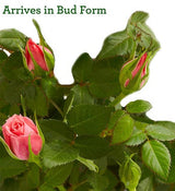 Classic Budding Rose - Live Plant in Floral Pot