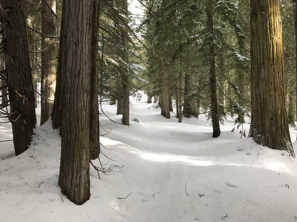 Ski touring through old growth forest near Penny, BC