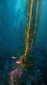 """California Giant Kelp"""
