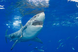 """Great White Shark"""