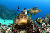 """Green Sea Turtles"""