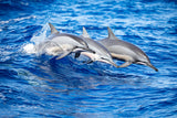 """Spinner Dolphins"""