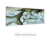 """Atlantic Tarpon"""