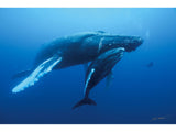 """Humpback Whale and Calf, Roca Partida"""