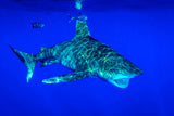 """Oceanic Whitetip"""
