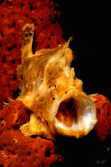 """Longlure Frogfish"""