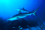 """Caribbean Reef Sharks"""