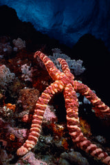 """Knobby Sea Star on Reef"""