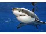 """Great white shark, Guadalupe"" 24X36 Framed Print"