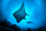 """Mantas in Silhouette"""