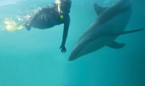 Kaikoura Swimming with Dolphins