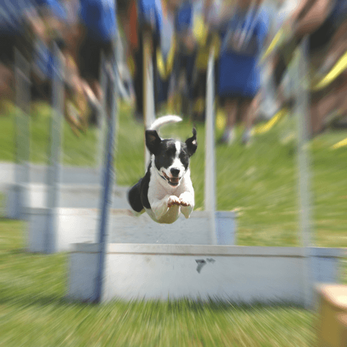 Five Signs Your Dog Would Be Perfect For Flyball