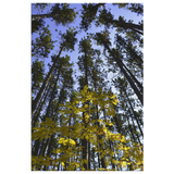 Upper Michigan Wall Art | Yellow Leaves With Tall Pines | Canvas Art Print