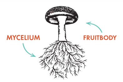 The Science of Mushroom Anatomy: Mycelium & the Fruitbody