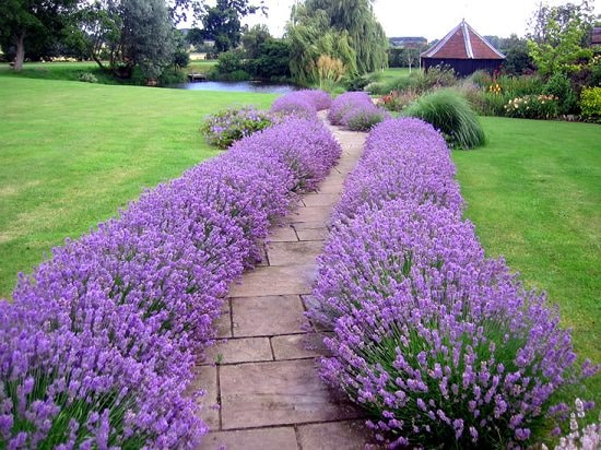 How to grow lavender: Find out everything you need to know about lavender