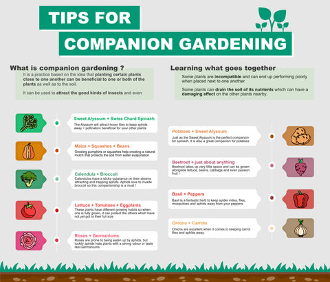 Tips for companion gardening infographic