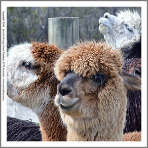 Alpacas quilting panels