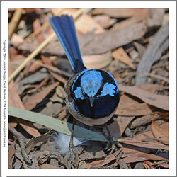 B1017-Male Blue Wren Quilting Panel
