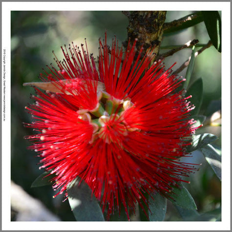 F3422- Bottle Brush Flower Quilting Panel