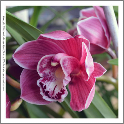 cymbidium orchid quilting panel